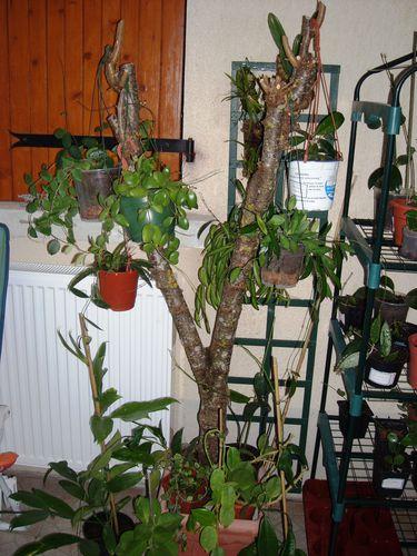 arbuste pour orchidées et hoyas
