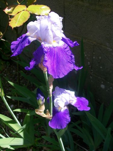 fleurs-du-jardin-juin-003.JPG