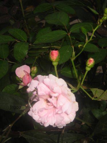 boutons-de-fleurs 1458