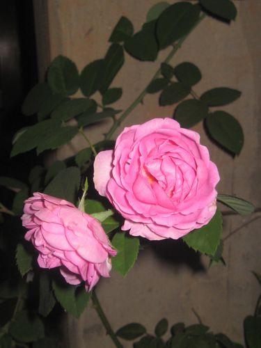 roses-de-mon-jardin 2943