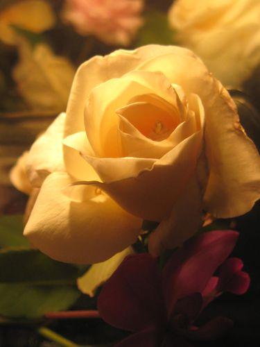 Compos-Roses-Douceur-1 4480
