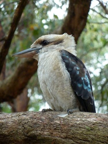08 Deep creek park - kookaburra 05