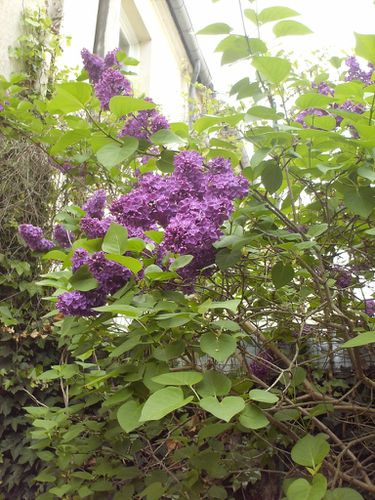 lilas louis spath2