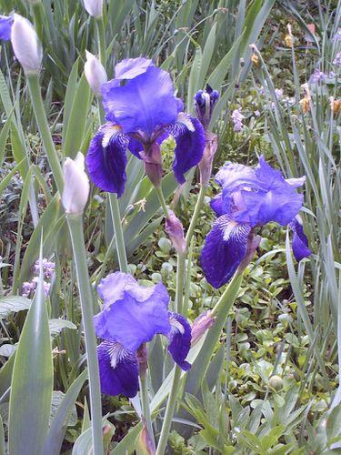 iris tamerlan2