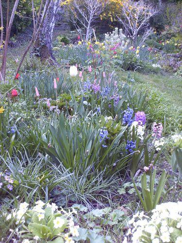 tulipe clusiana lady Jane1