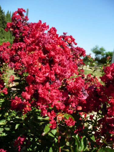 Lagerstroemia lilas des indes le blog de p pini res - Le lilas des indes ...