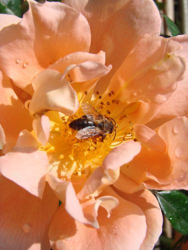 rose et abeille
