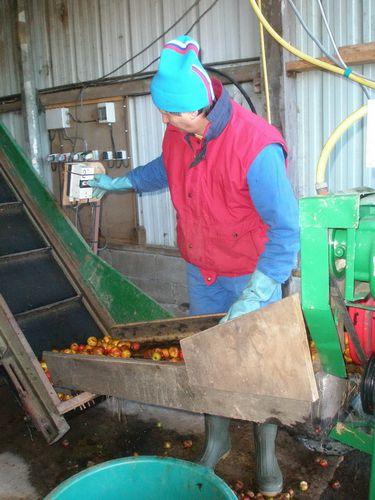 triage des pommes après lavage