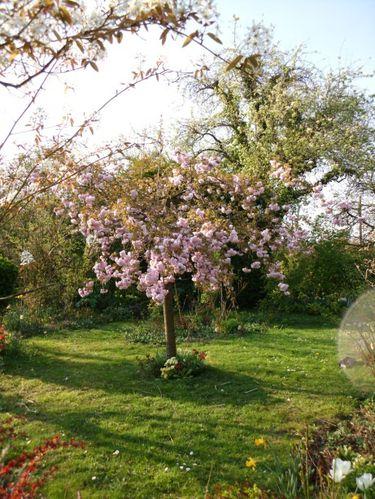 cerisier-copie-1
