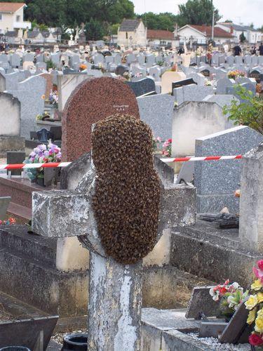 Récuperation d'un essaim d'abeilles au Bouscat