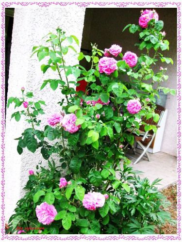 roses anciennes 1