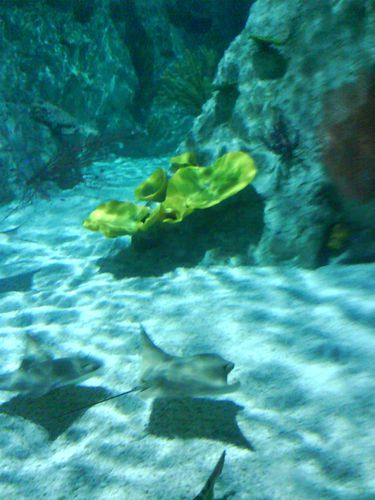 aquarium-sealife-raies.JPG