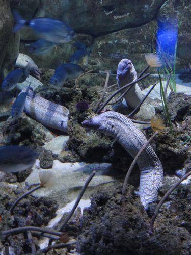aquarium-de-Paris_murenes.JPG