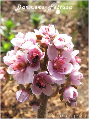 dermera-peltata-floraison-21-mai-2011.JPG