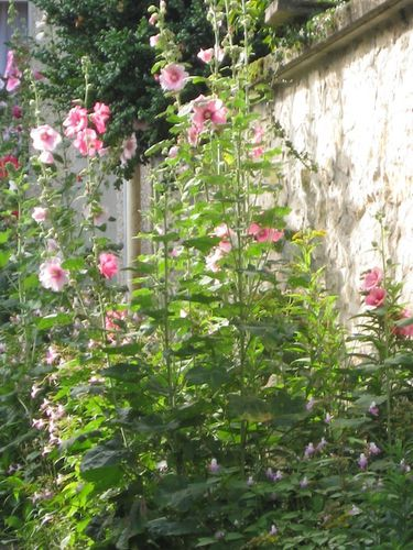 ROSES TREMIERES 1