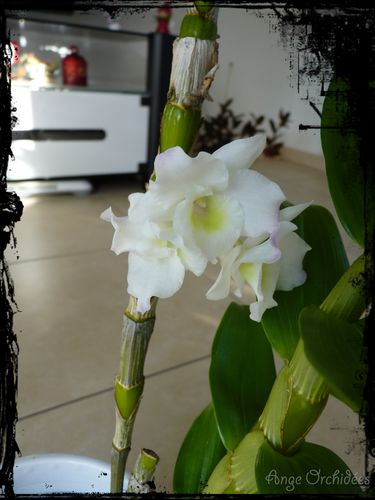 Dendro-nobile-blanc--42b-.jpg