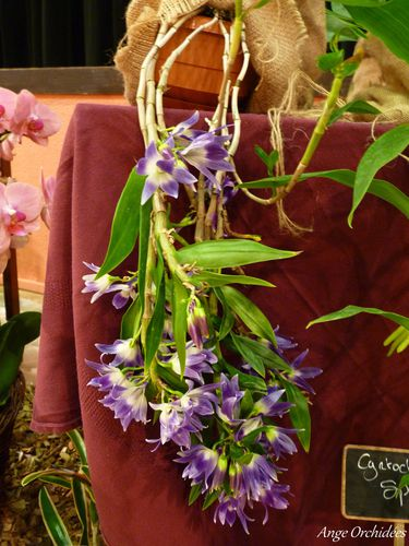 Expo-orchidees-Ecully-2012--20-.JPG
