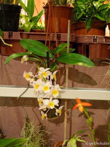 Expo-orchidees-Ecully-2012--24-.JPG
