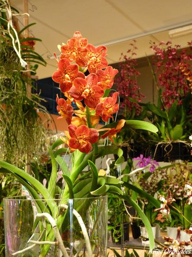 Expo-orchidees-Ecully-2012--32-.JPG