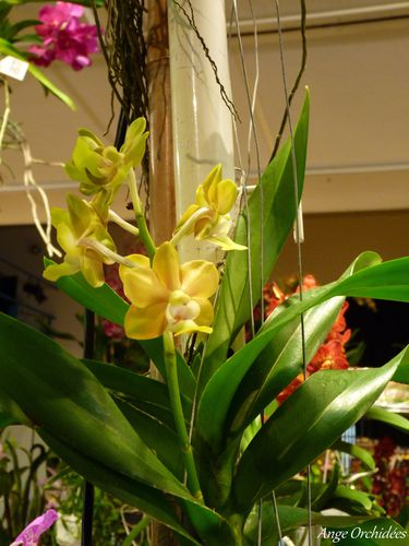 Expo-orchidees-Ecully-2012--33-.JPG