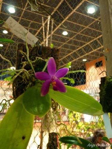 Expo-orchidees-Ecully-2012--40-.JPG