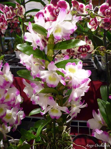Expo-orchidees-Ecully-2012--5-.JPG