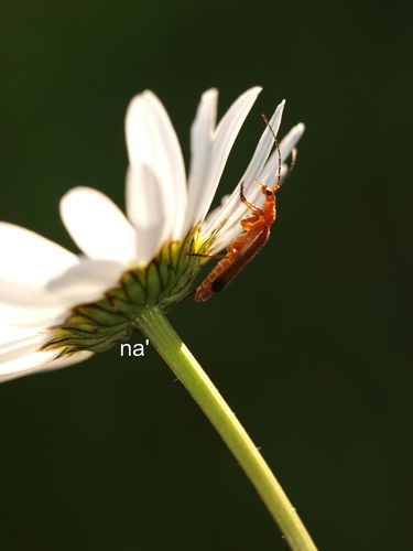 na'insectemarguerite2