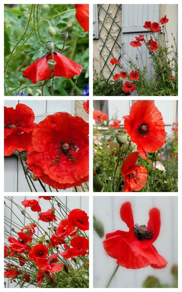 coquelicots fleurs ROUGE Valérie Albertosi