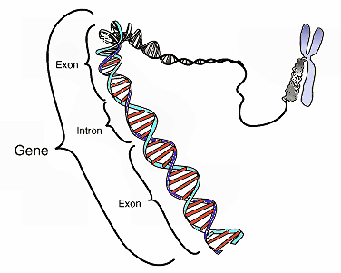228_intron_exon_gene.png