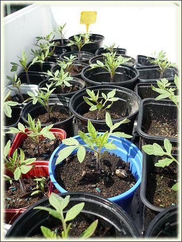 semis-tomates.JPG