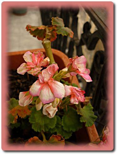 fleurs-balcon-maison.JPG