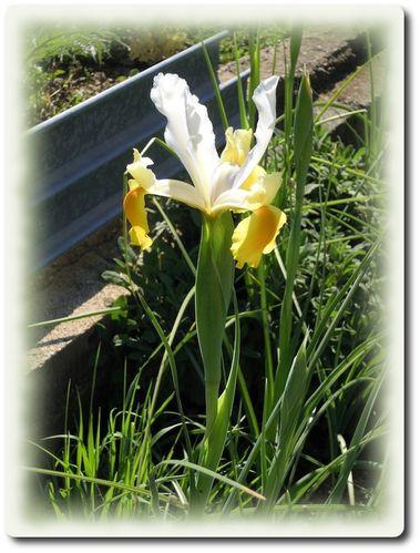 iris-jaune.JPG