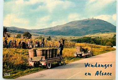 Vendanges en Alsace