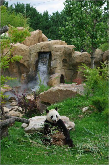 panda-beauval-013