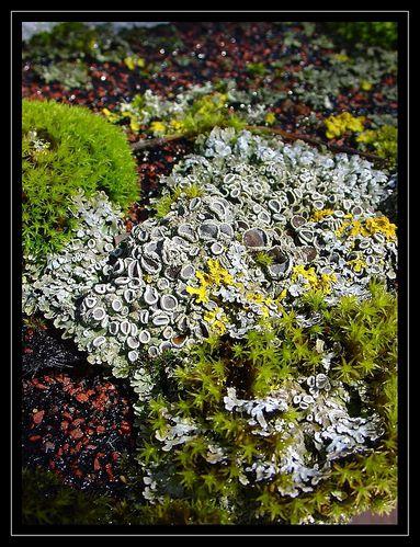 lichens1