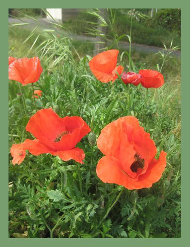 Coquelicots0