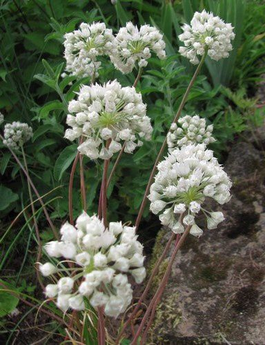 allium-amplectens-Graceful-19-juin-14.jpg