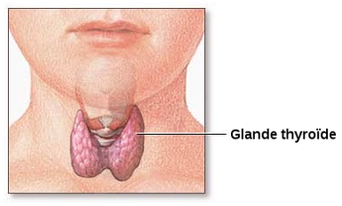 Glande-thyroide-normale.png
