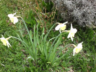 Narcisses-blancs-1.JPG