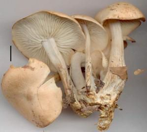 Collybia-oreadoides.JPG