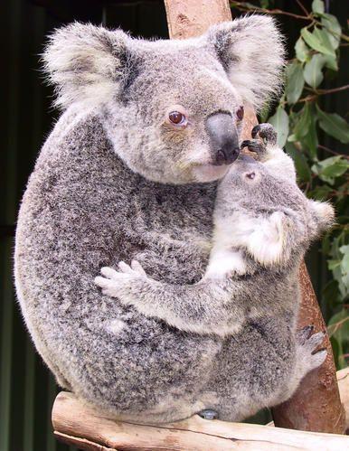 koala-mums.jpg