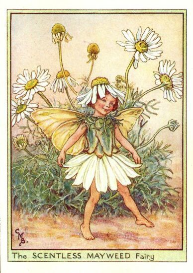 scentless mayweed flower fairy