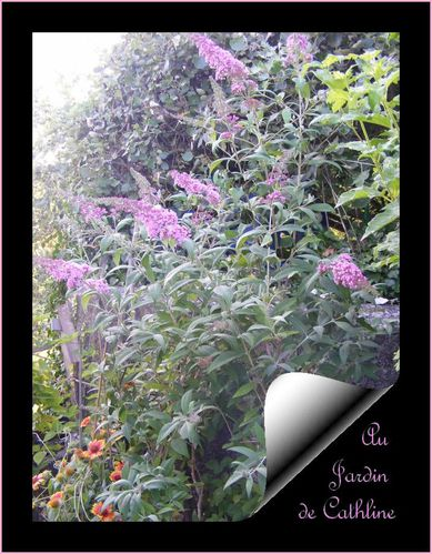 buddleia-rose.jpg