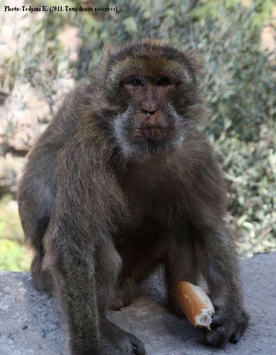 Un singe magot...