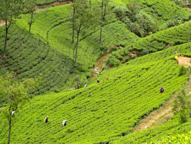 598-NUWARA-ELLIYA-Theiers.JPG