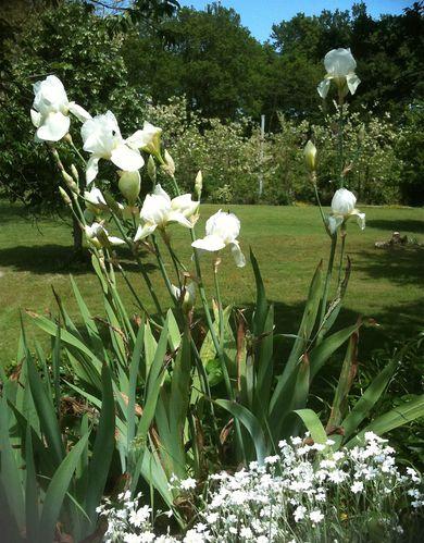 iris-blancs.jpg