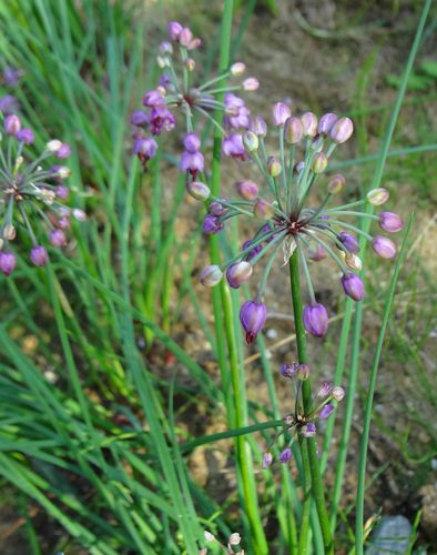 rakkyo-fleurs-2012.jpg