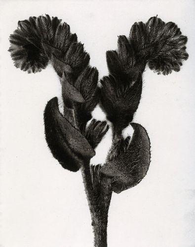 karl blossfeldt fine art 14