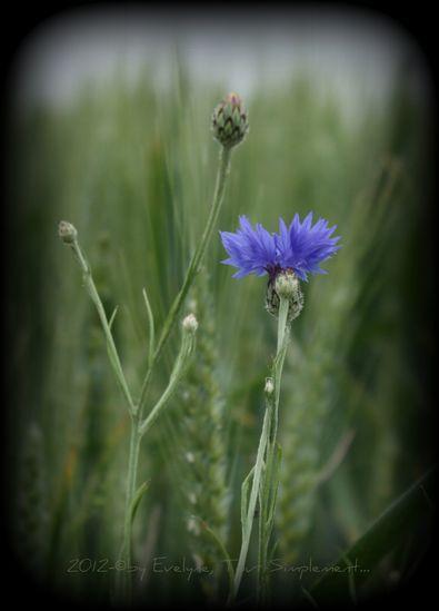 Macro---Fleurs--Plantes--Vegetaux-.-7059.JPG