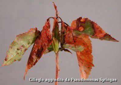 cherry pseudomonas syringae